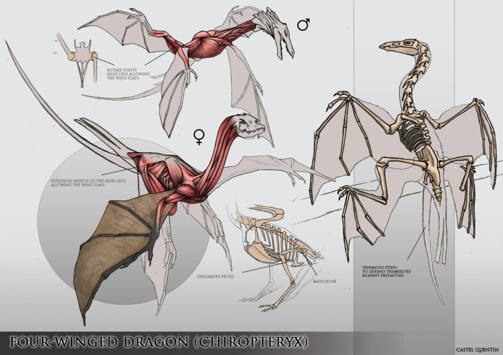 2015 quentin v castel - four-winged dragon anatomy study